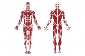 Diagram of the human muscular system